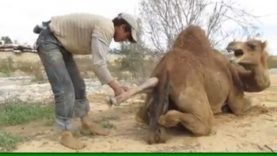 Ever-Seen-A-Camel-Give-Birth