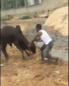 Nigerian man wrestles cow